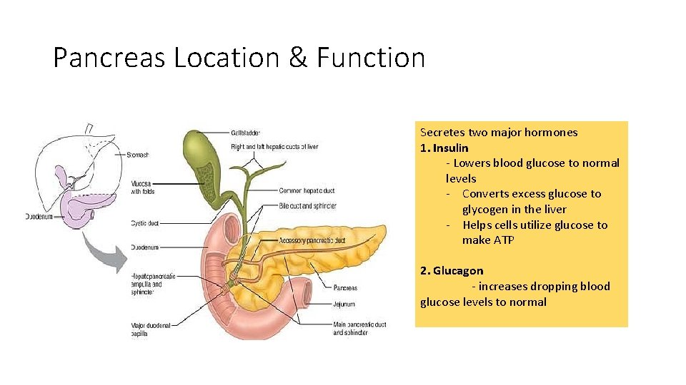 Pancreas Location & Function Secretes two major hormones 1. Insulin - Lowers blood glucose