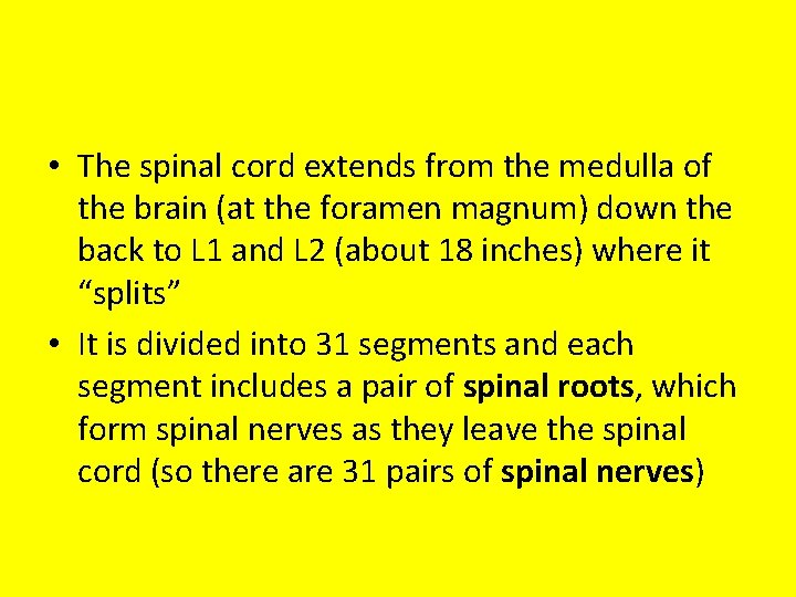 • The spinal cord extends from the medulla of the brain (at the