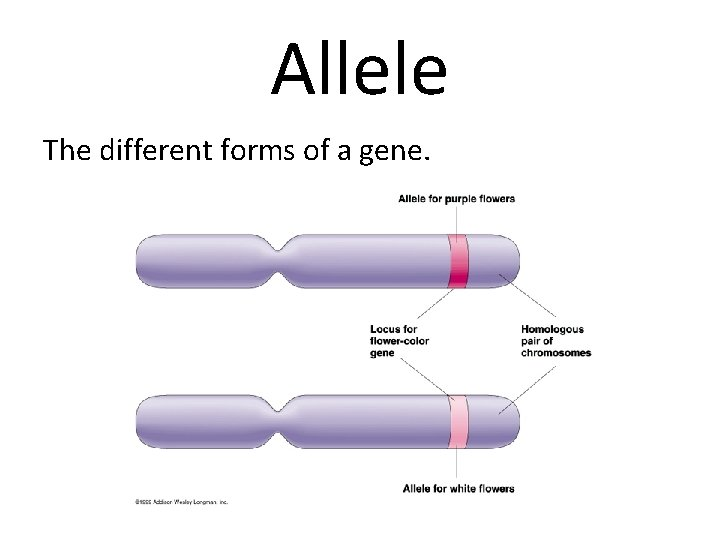 Allele The different forms of a gene.