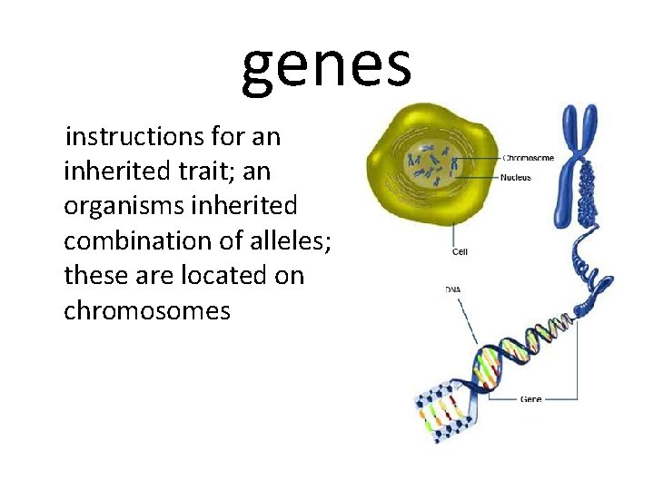 genes instructions for an inherited trait; an organisms inherited combination of alleles; these are
