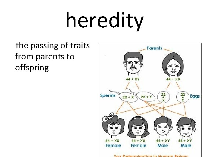 heredity the passing of traits from parents to offspring