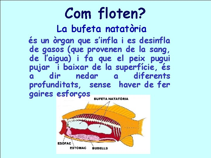 Com floten? La bufeta natatòria és un òrgan que s'infla i es desinfla de