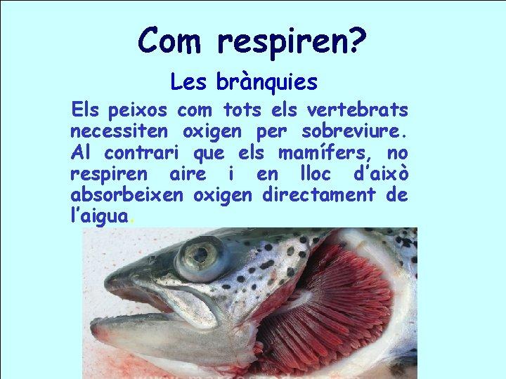 Com respiren? Les brànquies Els peixos com tots els vertebrats necessiten oxigen per sobreviure.