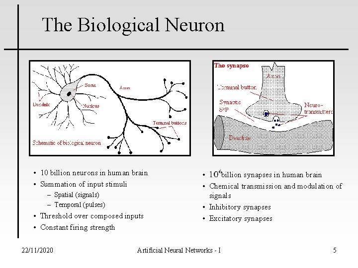 The Biological Neuron • 10 billion neurons in human brain • Summation of input
