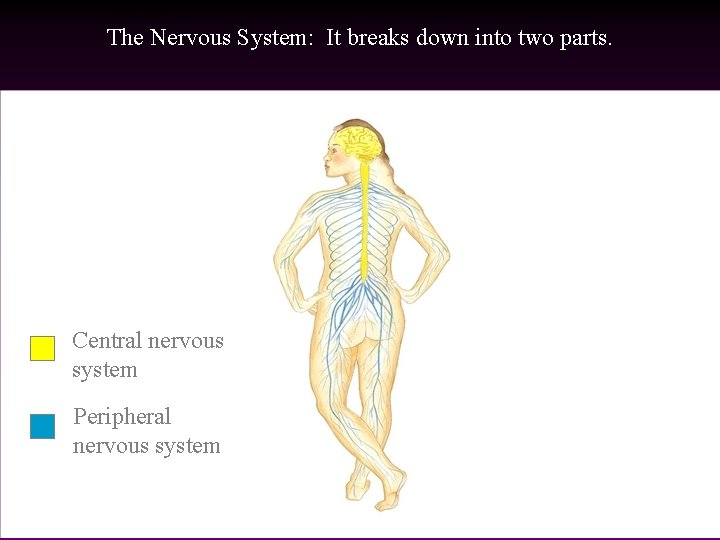 The Nervous System: It breaks down into two parts. Central nervous system Peripheral nervous