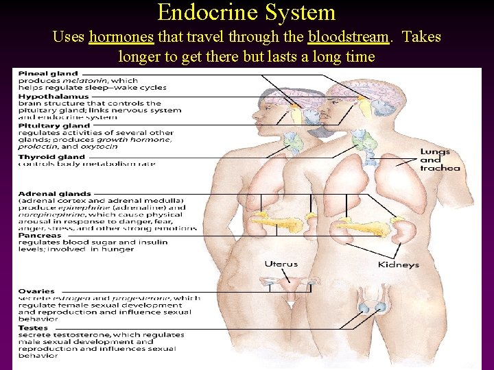 Endocrine System Uses hormones that travel through the bloodstream. Takes longer to get there