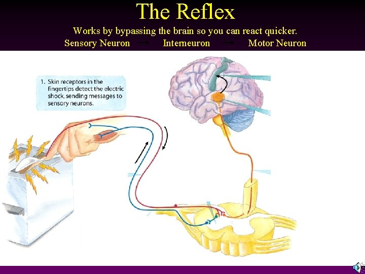 The Reflex Works by bypassing the brain so you can react quicker. Sensory Neuron