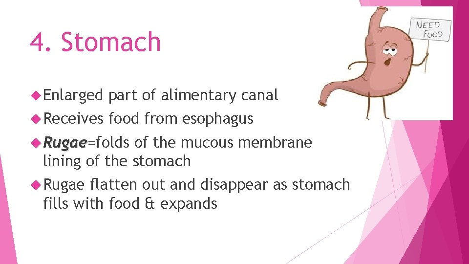 4. Stomach Enlarged part of alimentary canal Receives food from esophagus Rugae=folds Rugae of