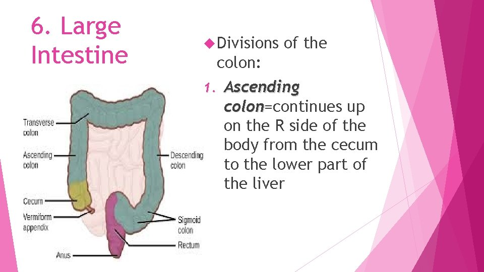 6. Large Intestine Divisions of the colon: 1. Ascending colon=continues up colon on the