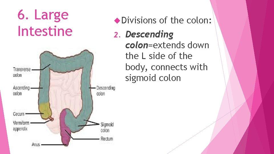 6. Large Intestine Divisions 2. of the colon: Descending colon=extends down colon the L
