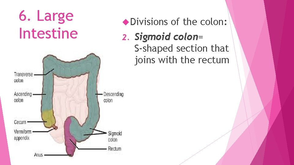 6. Large Intestine Divisions 2. of the colon: Sigmoid colon= colon S-shaped section that