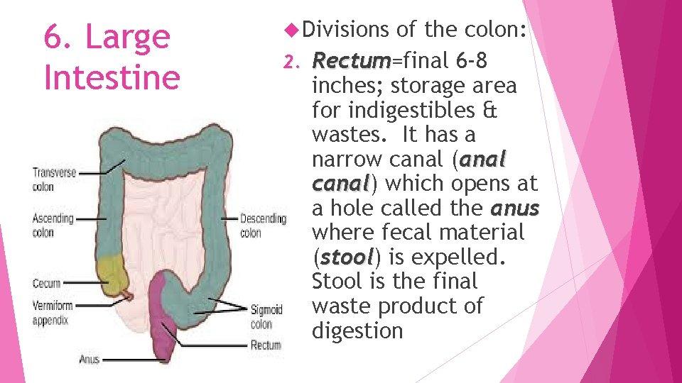 6. Large Intestine Divisions of the colon: 2. Rectum=final 6 -8 Rectum inches; storage