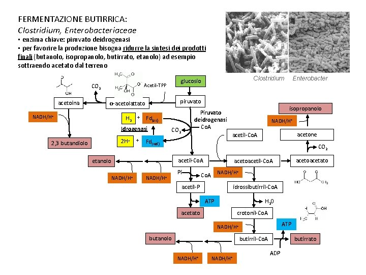 FERMENTAZIONE BUTIRRICA: Clostridium, Enterobacteriaceae • enzima chiave: piruvato deidrogenasi • per favorire la produzione