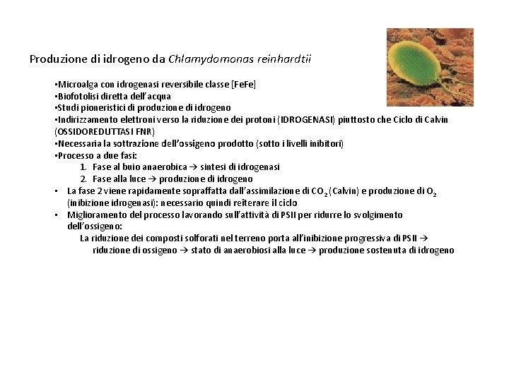 Produzione di idrogeno da Chlamydomonas reinhardtii • Microalga con idrogenasi reversibile classe [Fe. Fe]