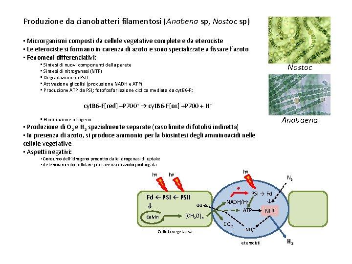 Produzione da cianobatteri filamentosi (Anabena sp, Nostoc sp) • Microrganismi composti da cellule vegetative