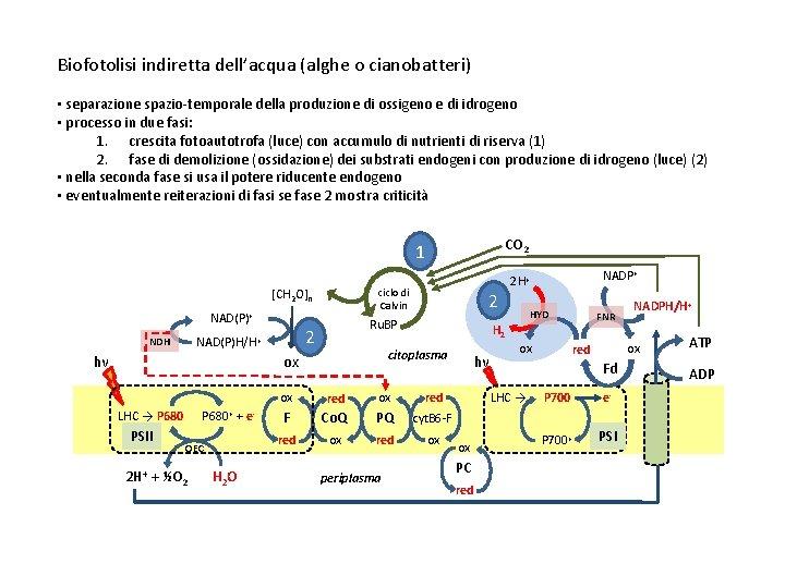 Biofotolisi indiretta dell'acqua (alghe o cianobatteri) • separazione spazio-temporale della produzione di ossigeno e