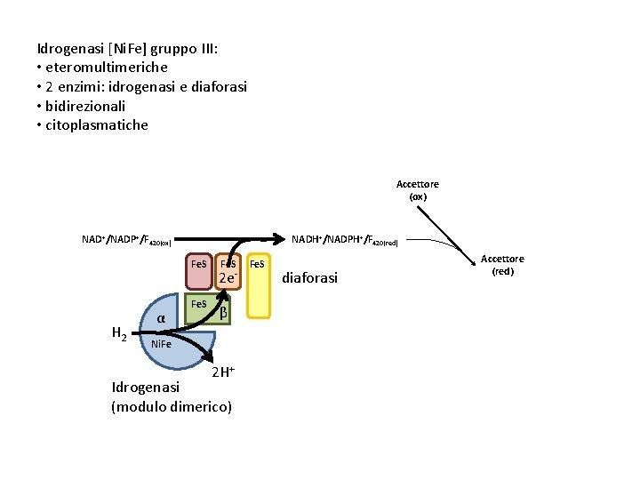 Idrogenasi [Ni. Fe] gruppo III: • eteromultimeriche • 2 enzimi: idrogenasi e diaforasi •