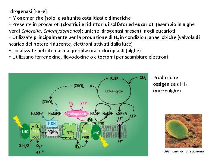 Idrogenasi [Fe. Fe]: • Monomeriche (solo la subunità catalitica) o dimeriche • Presente in