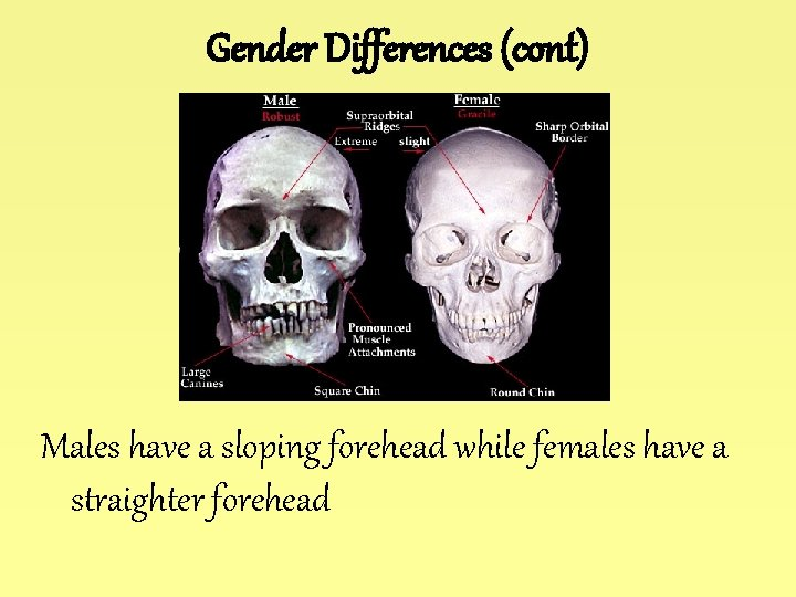 Gender Differences (cont) Males have a sloping forehead while females have a straighter forehead