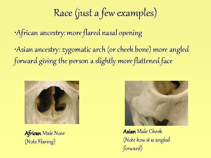 Race (just a few examples) • African ancestry: more flared nasal opening • Asian