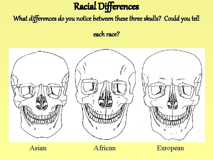 Racial Differences What differences do you notice between these three skulls? Could you tell