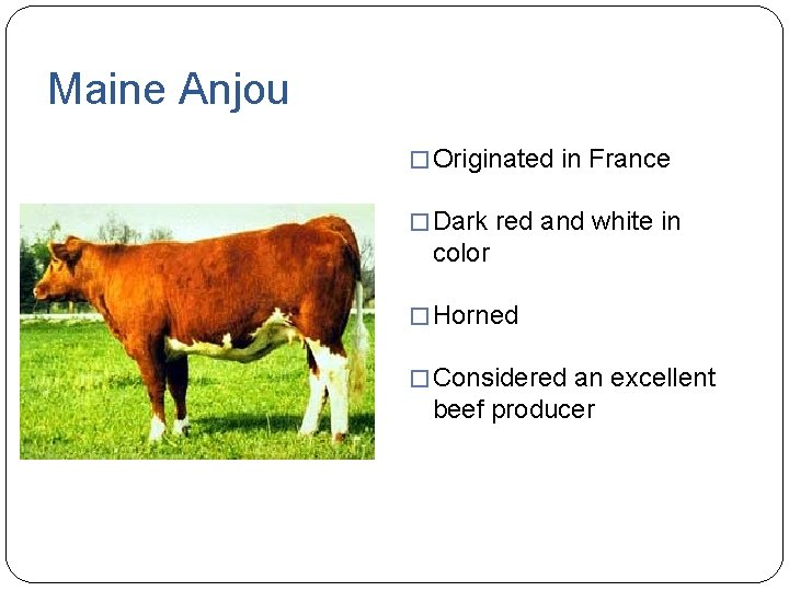 Maine Anjou � Originated in France � Dark red and white in color �
