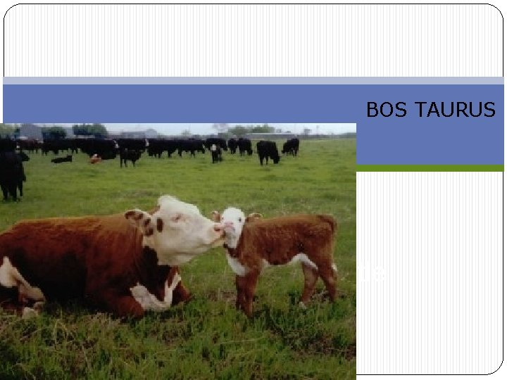 BOS TAURUS Breeds of Beef Cattle