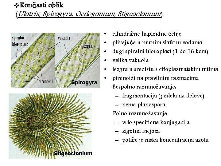 v. Končasti oblik (Ulotrix, Spirogyra, Oedogonium, Stigeoclonium) Spirogyra Stigeoclonium • • • cilindrične haploidne