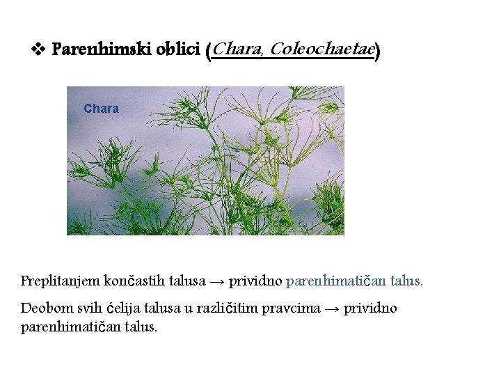 v Parenhimski oblici (Chara, Coleochaetae) Chara Preplitanjem končastih talusa → prividno parenhimatičan talus. Deobom