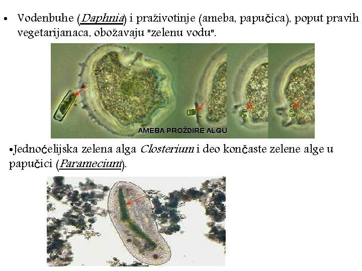 """• Vodenbuhe (Daphnia) i praživotinje (ameba, papučica), poput pravih vegetarijanaca, obožavaju """"zelenu vodu""""."""