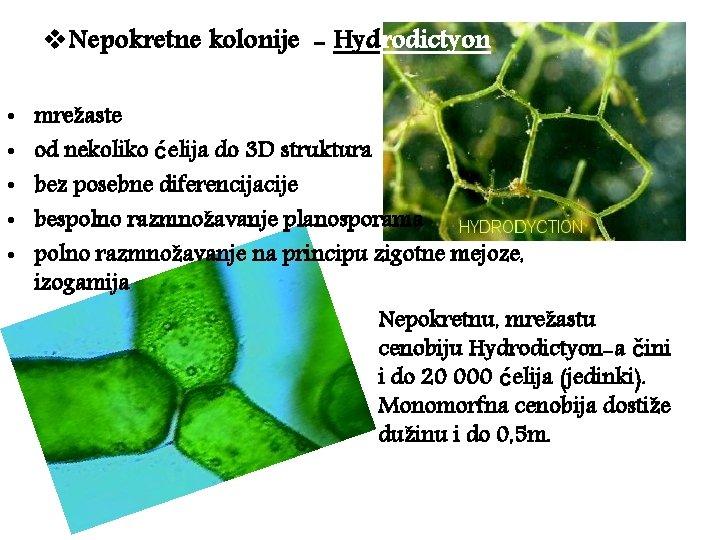 v. Nepokretne kolonije - Hydrodictyon • • • mrežaste od nekoliko ćelija do 3