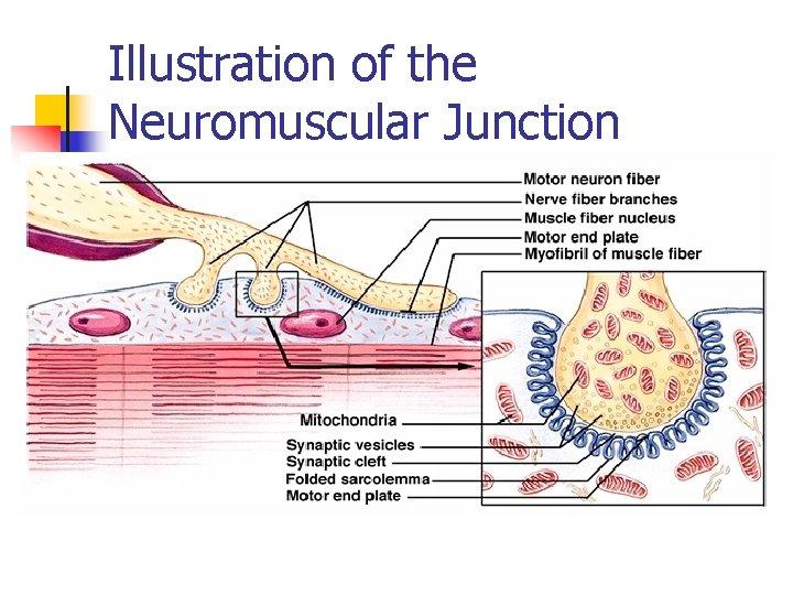 Illustration of the Neuromuscular Junction