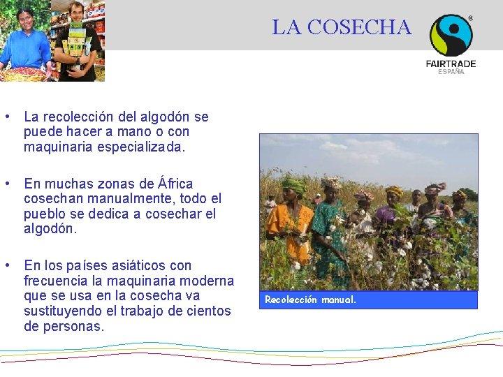 LA COSECHA • La recolección del algodón se puede hacer a mano o con