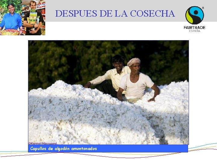 DESPUES DE LA COSECHA © Didier Gentilhomme Capullos de algodón amontonados