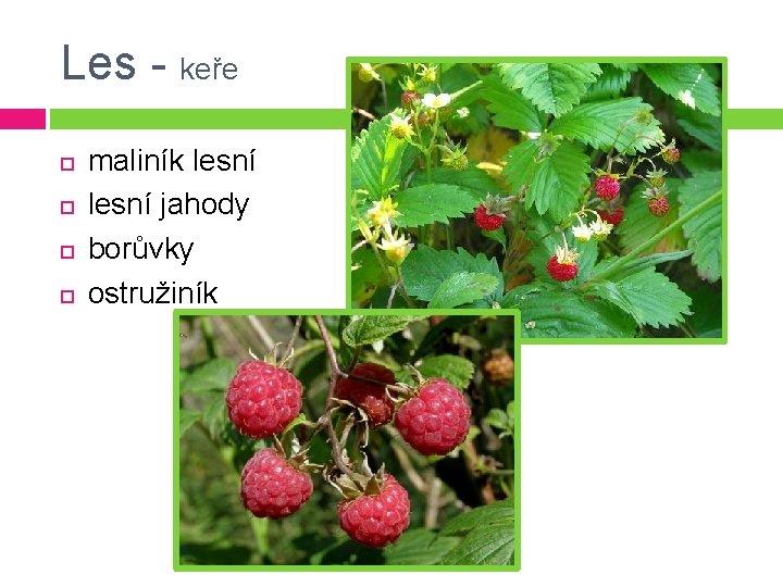 Les - keře maliník lesní jahody borůvky ostružiník