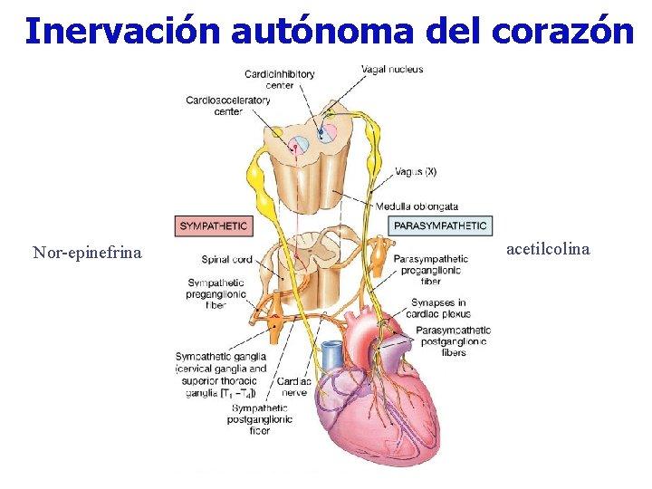 Inervación autónoma del corazón Nor-epinefrina acetilcolina