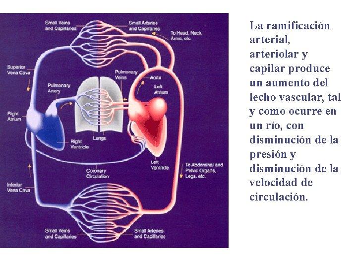 La ramificación arterial, arteriolar y capilar produce un aumento del lecho vascular, tal y