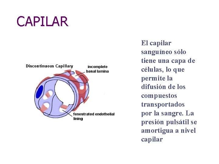 CAPILAR El capilar sanguíneo sólo tiene una capa de células, lo que permite la