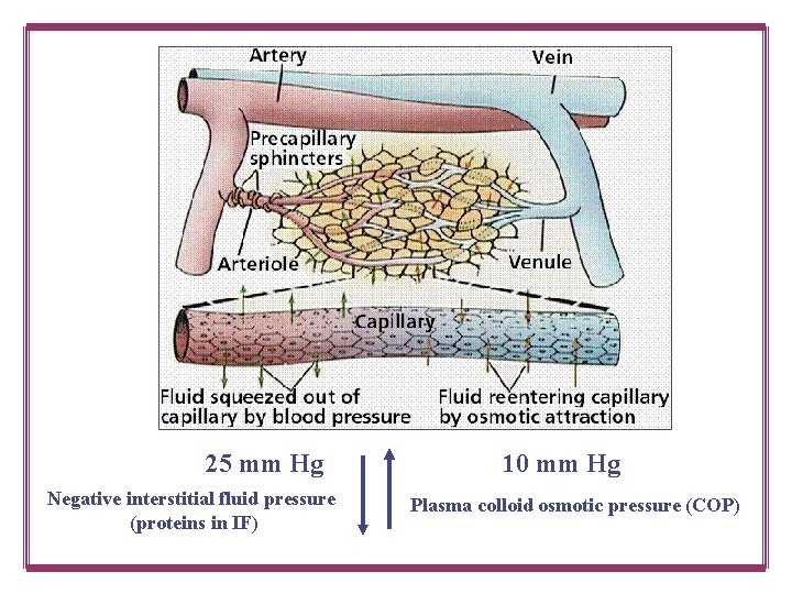 25 mm Hg Negative interstitial fluid pressure (proteins in IF) 10 mm Hg Plasma