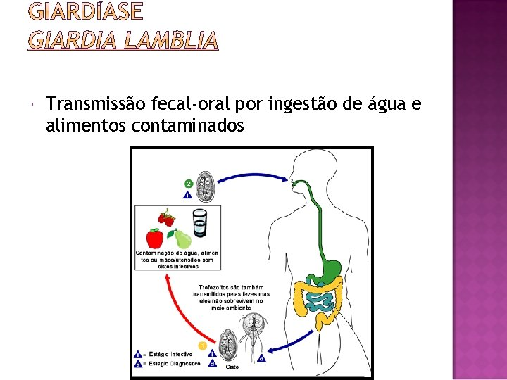 Transmissão fecal-oral por ingestão de água e alimentos contaminados