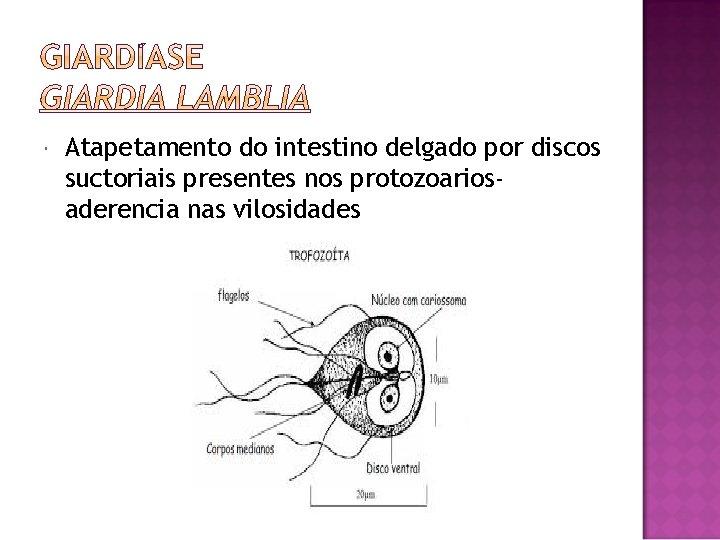 Atapetamento do intestino delgado por discos suctoriais presentes nos protozoariosaderencia nas vilosidades