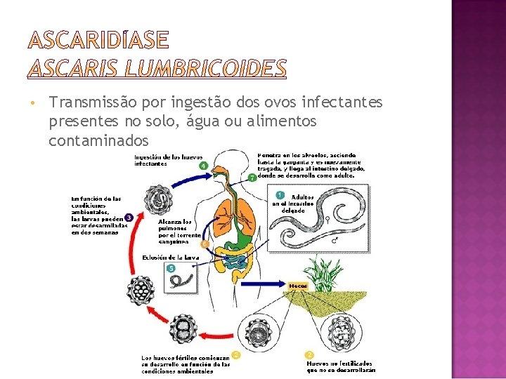 • Transmissão por ingestão dos ovos infectantes presentes no solo, água ou alimentos