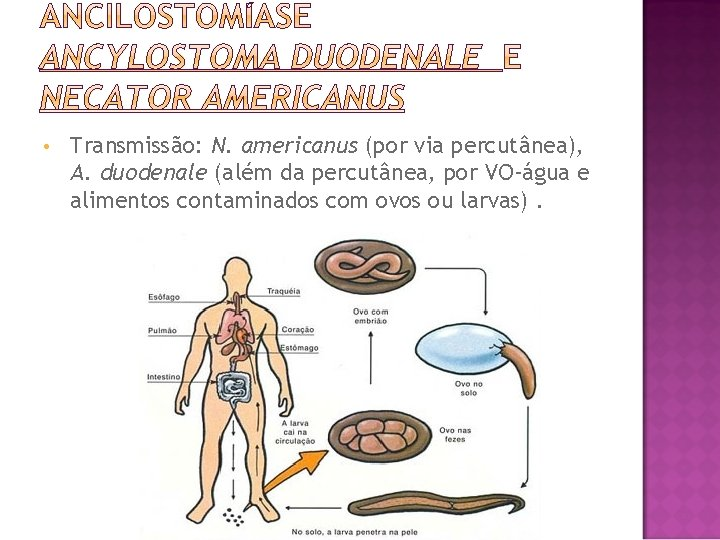 • Transmissão: N. americanus (por via percutânea), A. duodenale (além da percutânea, por