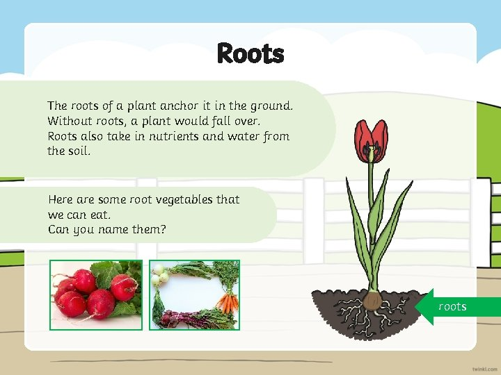 Roots The roots of a plant anchor it in the ground. Without roots, a