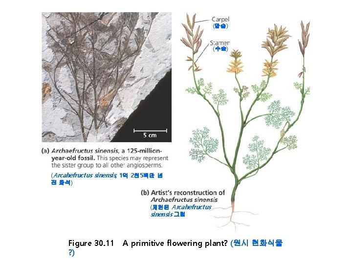 (암술) (수술) (Arcahefructus sinensis, 1억 2천 5백만 년 전 화석) (재현된 Arcahefructus sinensis 그림