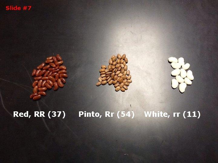 Slide #7 Red, RR (37) Pinto, Rr (54) White, rr (11)