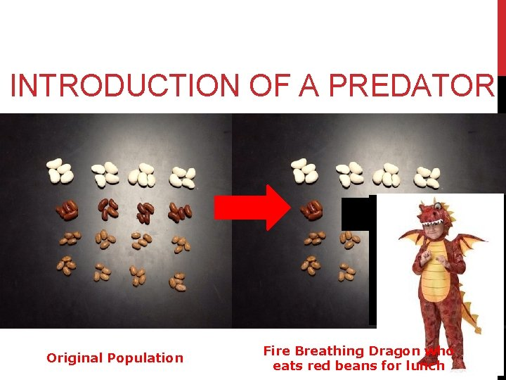 INTRODUCTION OF A PREDATOR Original Population Fire Breathing Dragon who eats red beans for