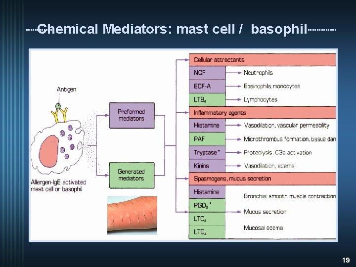 Chemical Mediators: mast cell / basophil 19