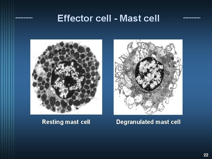 Effector cell - Mast cell Resting mast cell Degranulated mast cell 22