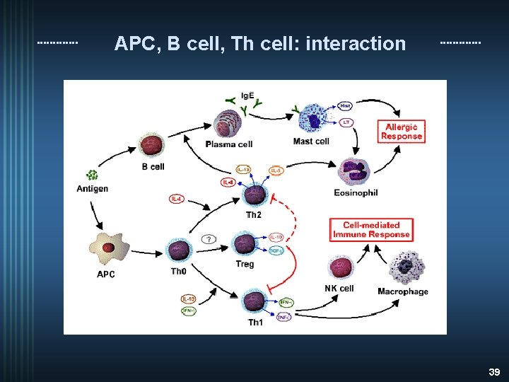 APC, B cell, Th cell: interaction 39